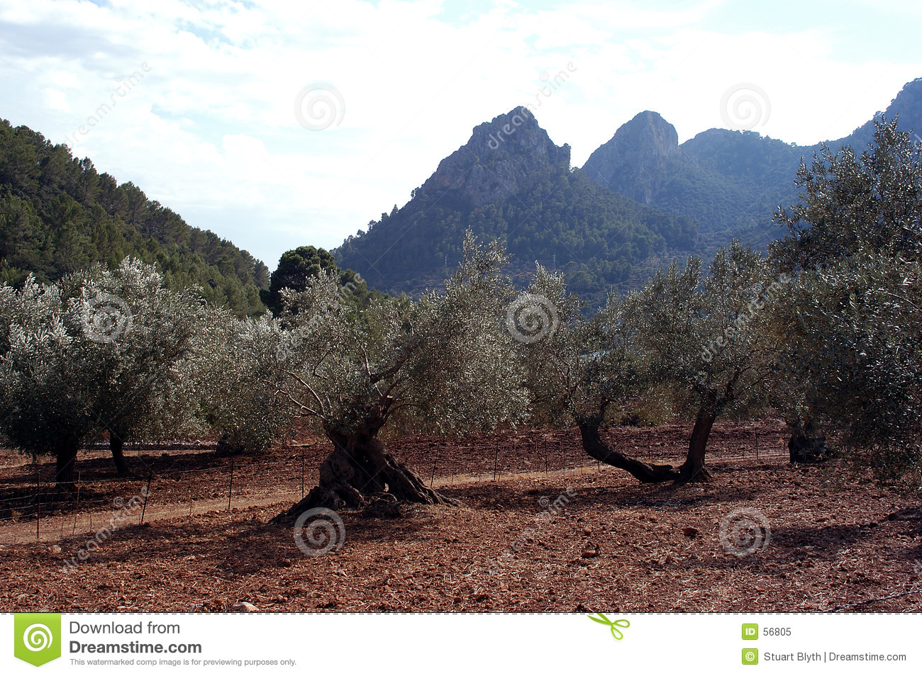 Download Plantation olive image stock. Image du pétrole, affermage - 56805