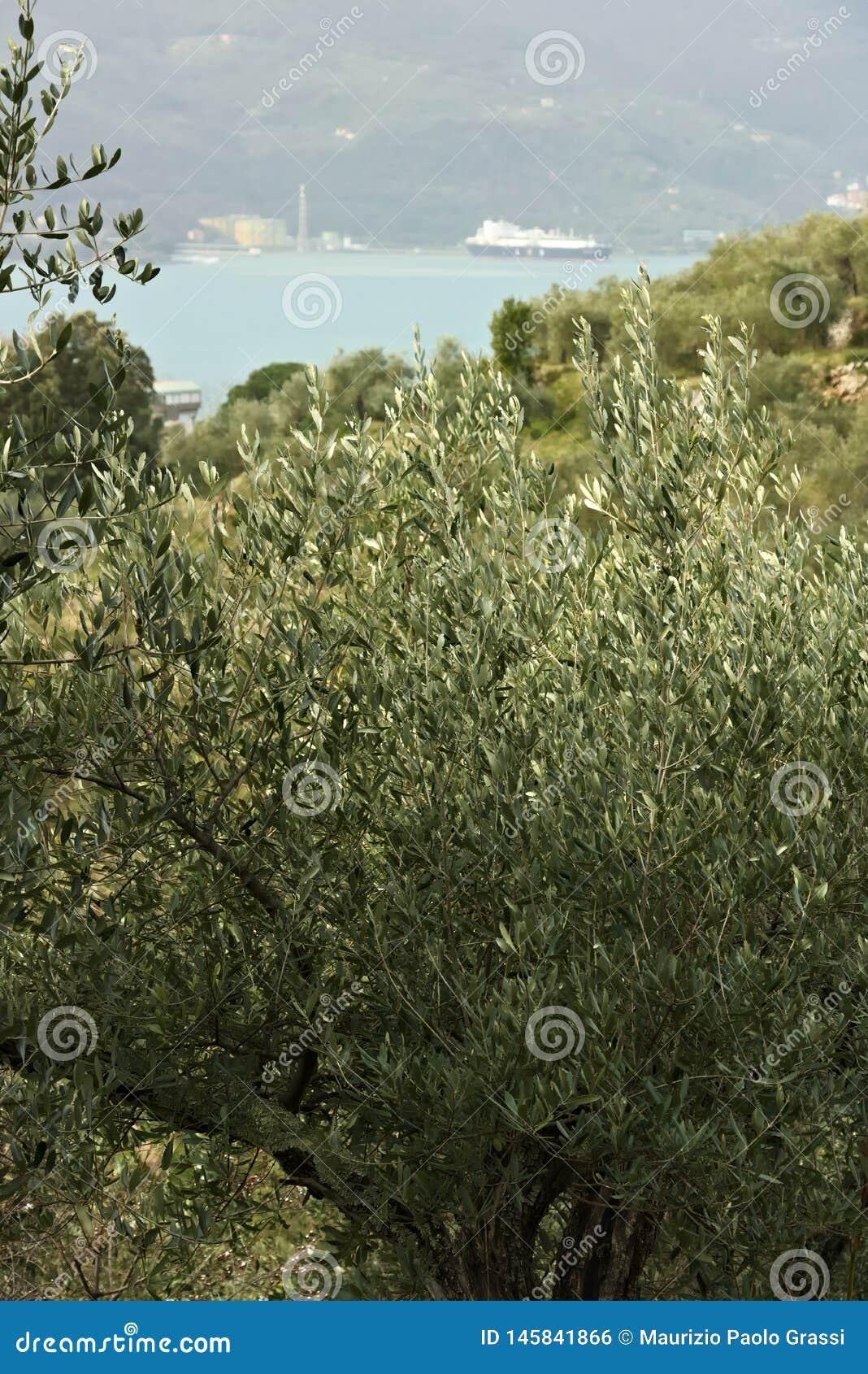 Plantation olive dans les collines avec la mer ? l arri?re-plan