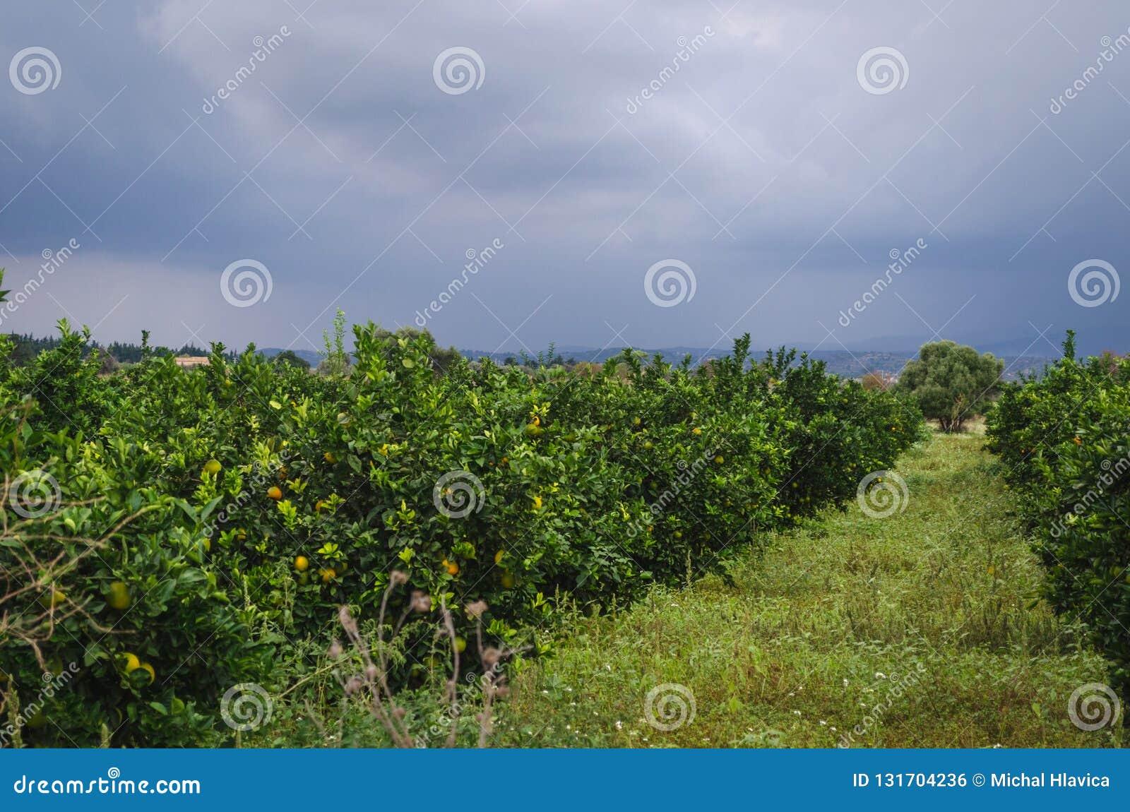 Plantation orange en Sicile, Italie