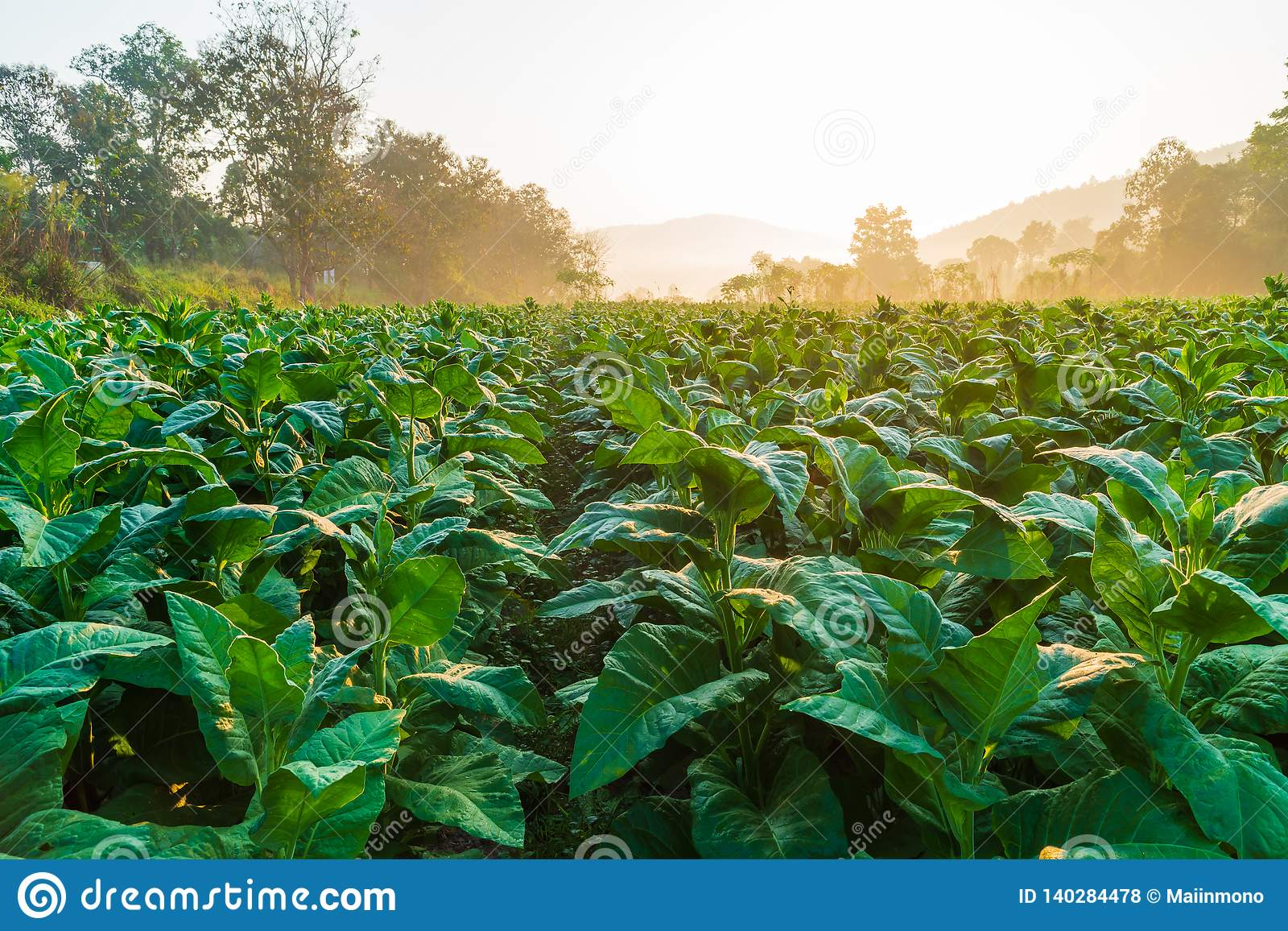 The plantation of tobacco trees under the morning sun.