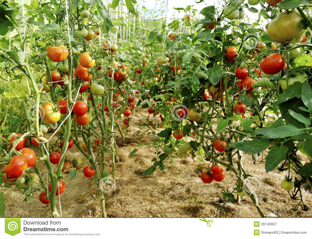 Plantation of tomatoes stock image image of work for Plantation tomate