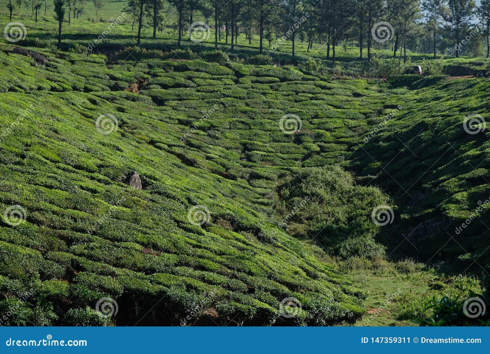 Plantations de th? vert dans Munnar, Kerala, Inde