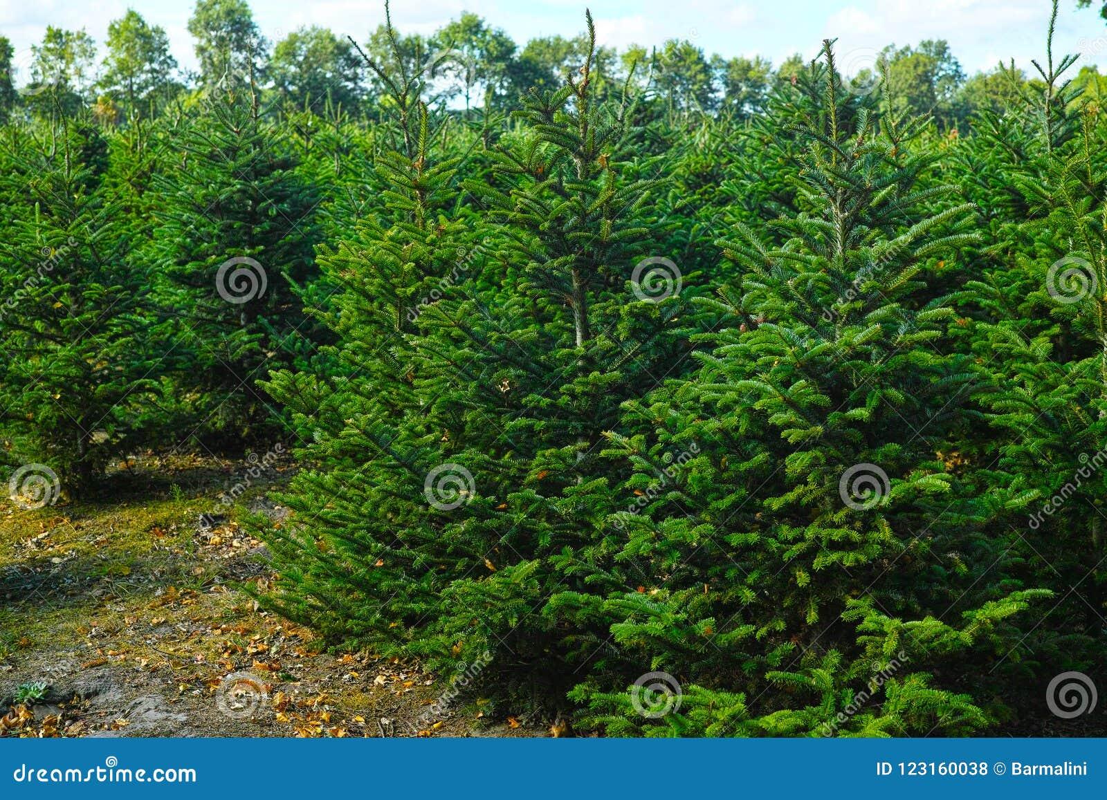 Plantatnion Of Young Green Fir Christmas Trees, Nordmann Fir And ...
