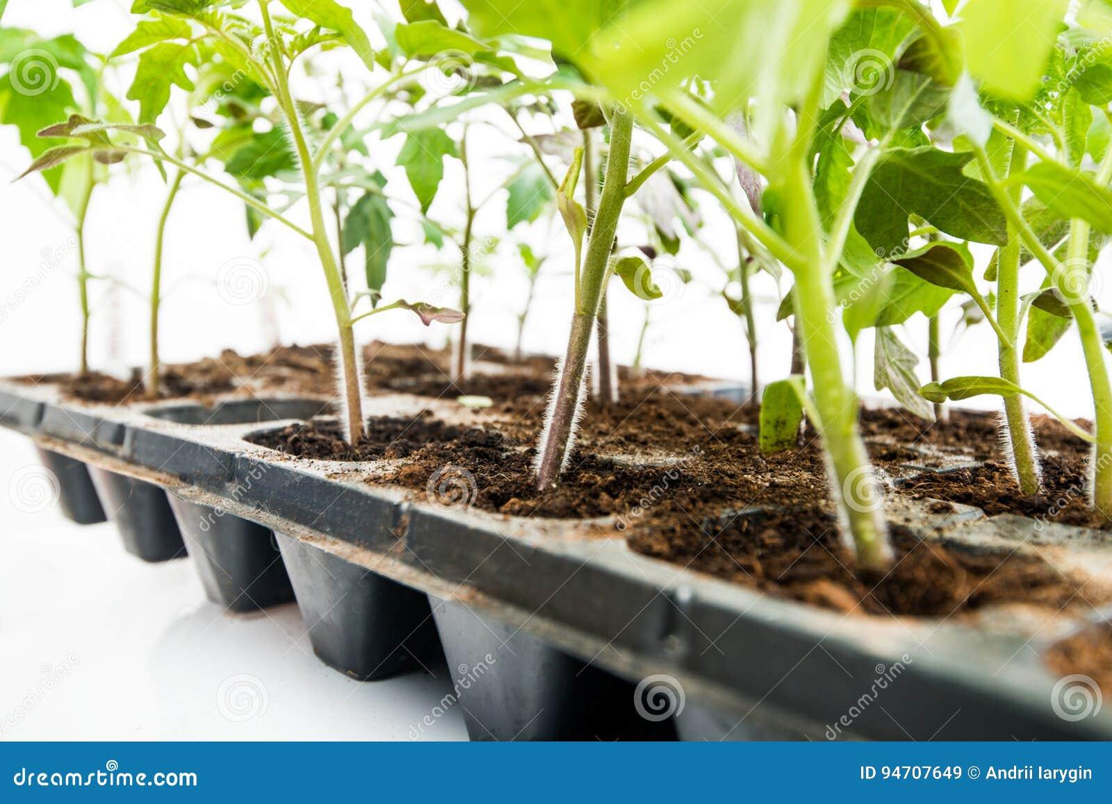 Plantaväxter i en kassett på en vit bakgrund