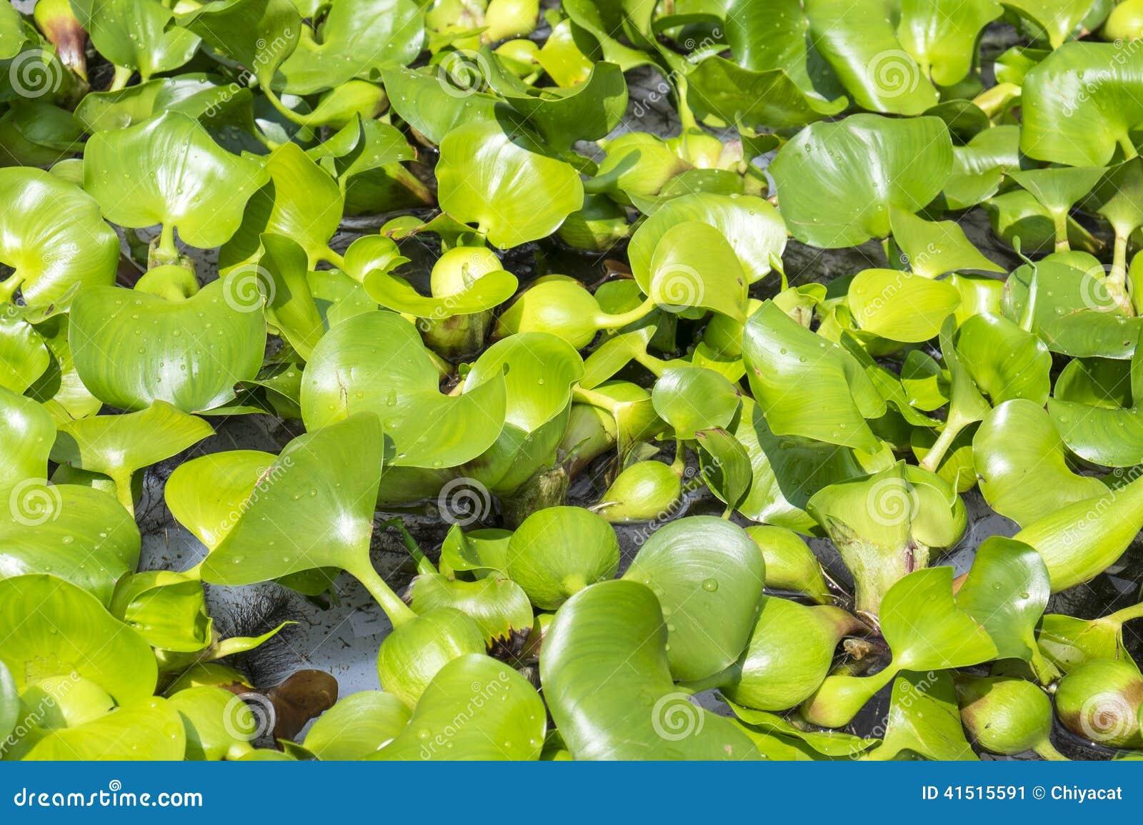 plante aquatique de laitue d 39 eau photo stock image 41515591. Black Bedroom Furniture Sets. Home Design Ideas