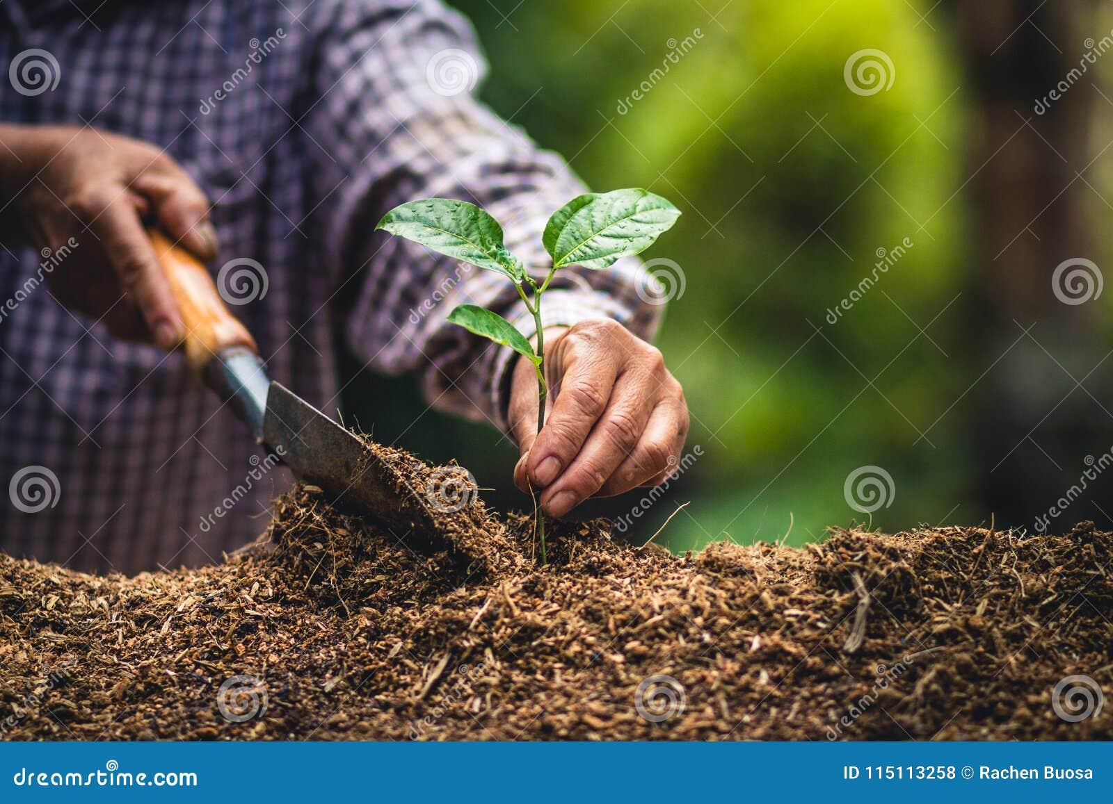 Plante as plântulas fortes de um fruto de paixão da árvore, plantando a árvore nova pela mão velha no solo como o conceito do wol