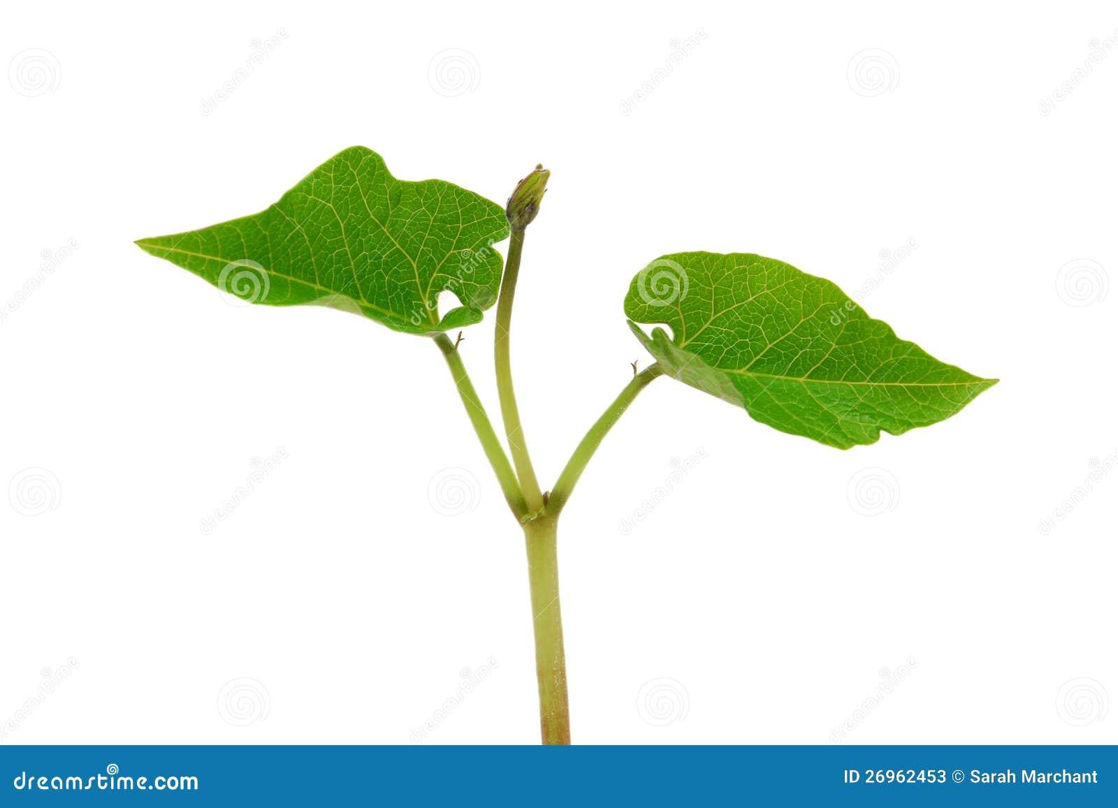 plante d 39 haricot d 39 espagne photos stock image 26962453. Black Bedroom Furniture Sets. Home Design Ideas