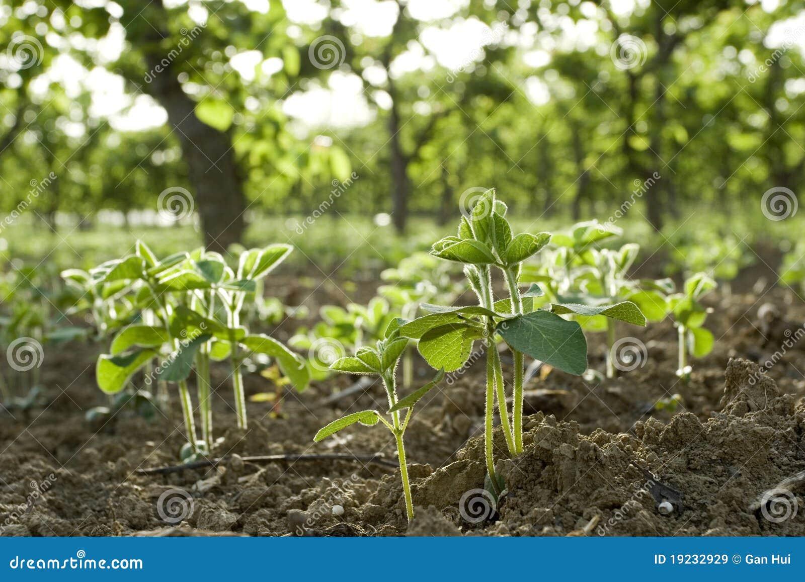 plante d 39 haricots image stock image du haricot nature 19232929. Black Bedroom Furniture Sets. Home Design Ideas