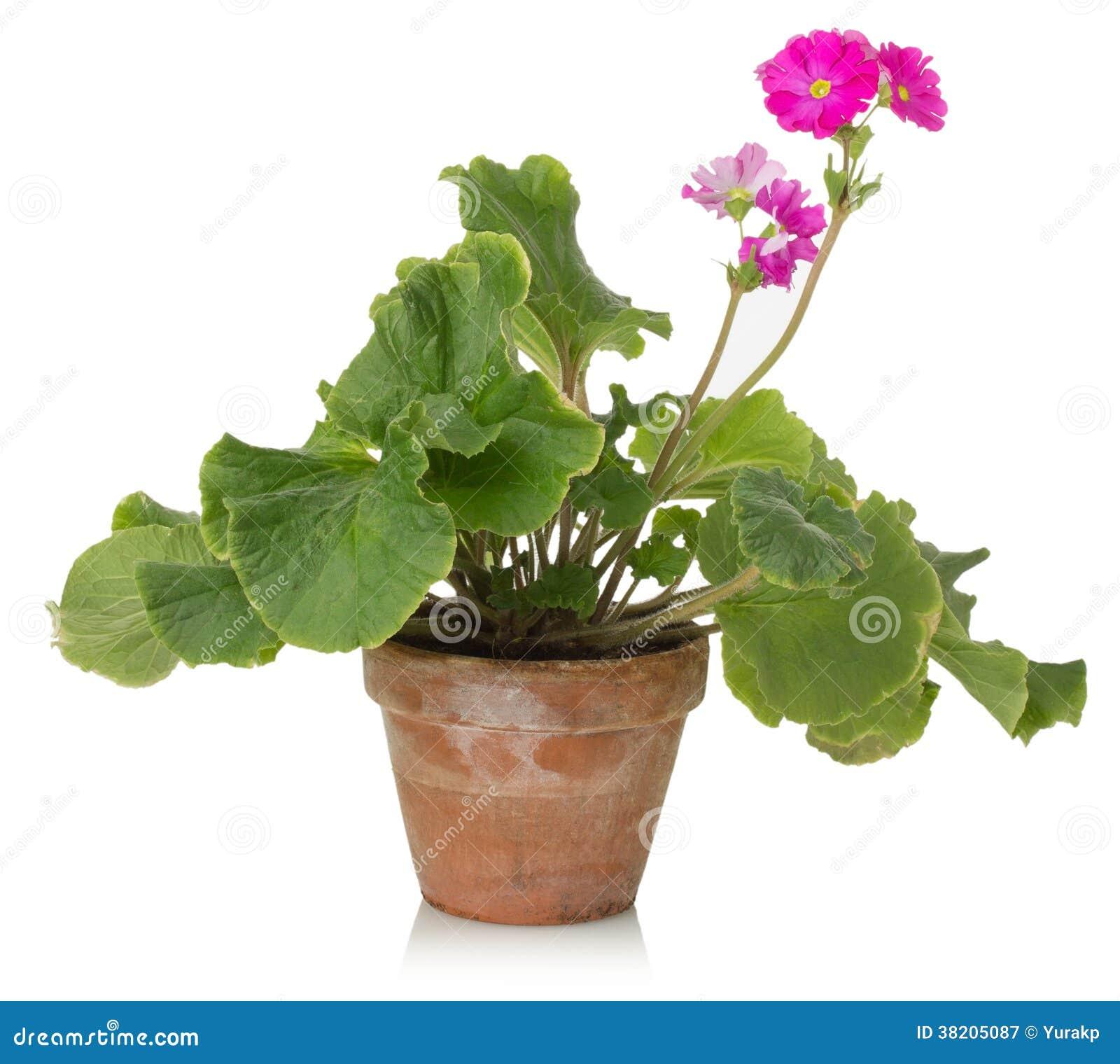 plante d 39 int rieur avec la fleur rose sur un fond blanc photographie stock libre de droits. Black Bedroom Furniture Sets. Home Design Ideas