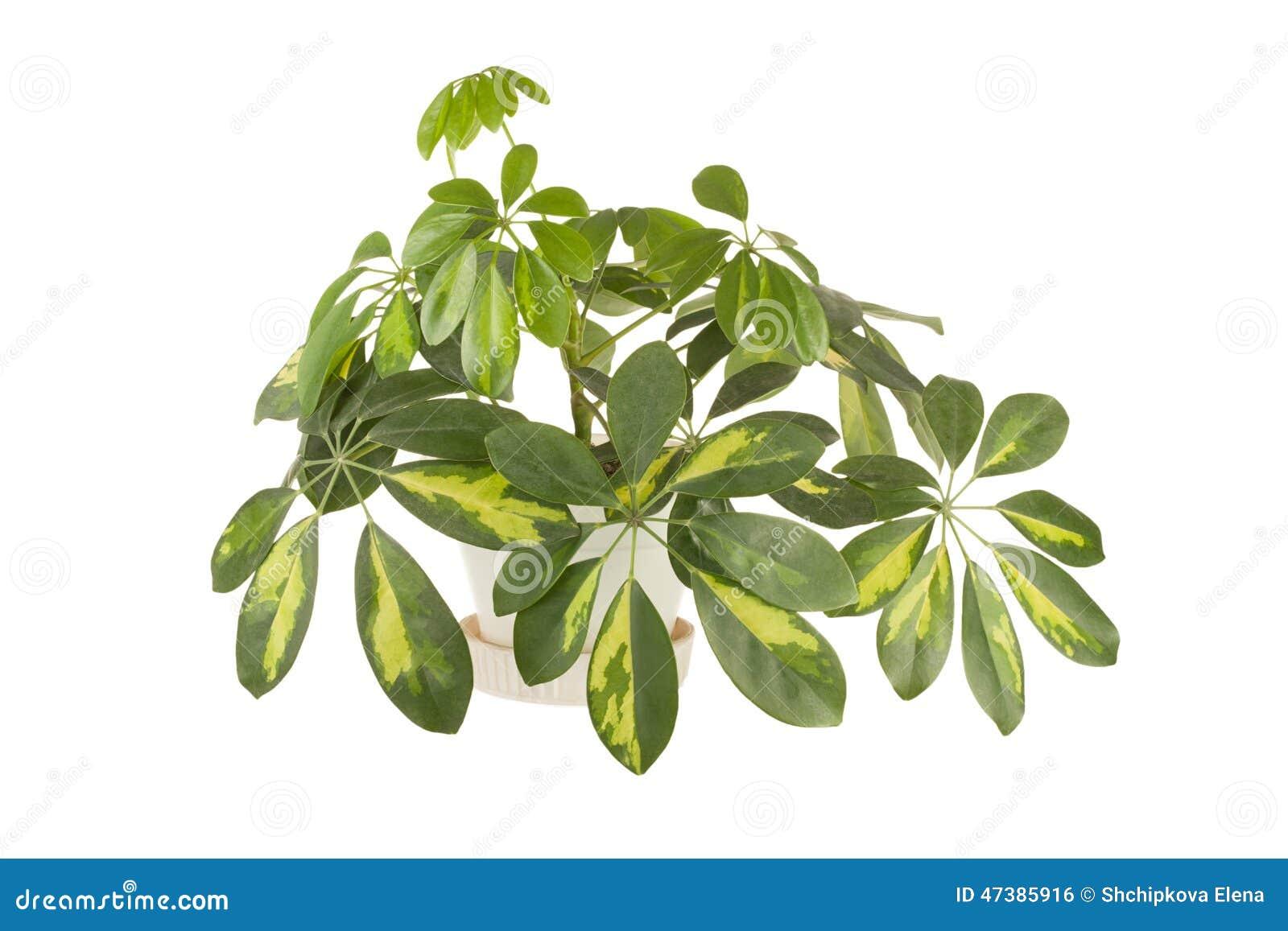 Plante d 39 int rieur d 39 un shefflera photo stock image for Achat plante interieur