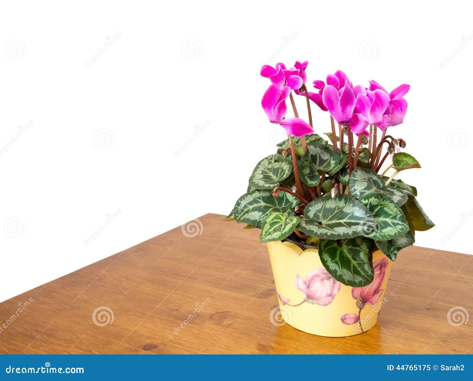 Plante d 39 int rieur de cyclamen avec les fleurs roses arrangement domestique ba blanc photo - Arrosage cyclamen en pot ...