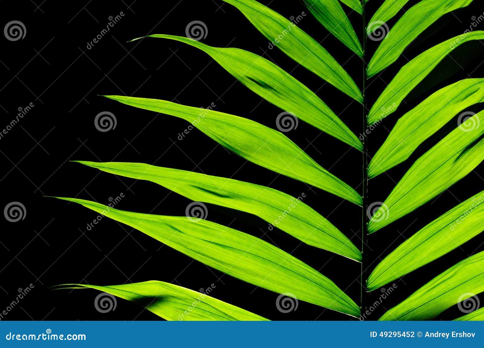 plante d 39 int rieur de feuille photo stock image 49295452. Black Bedroom Furniture Sets. Home Design Ideas