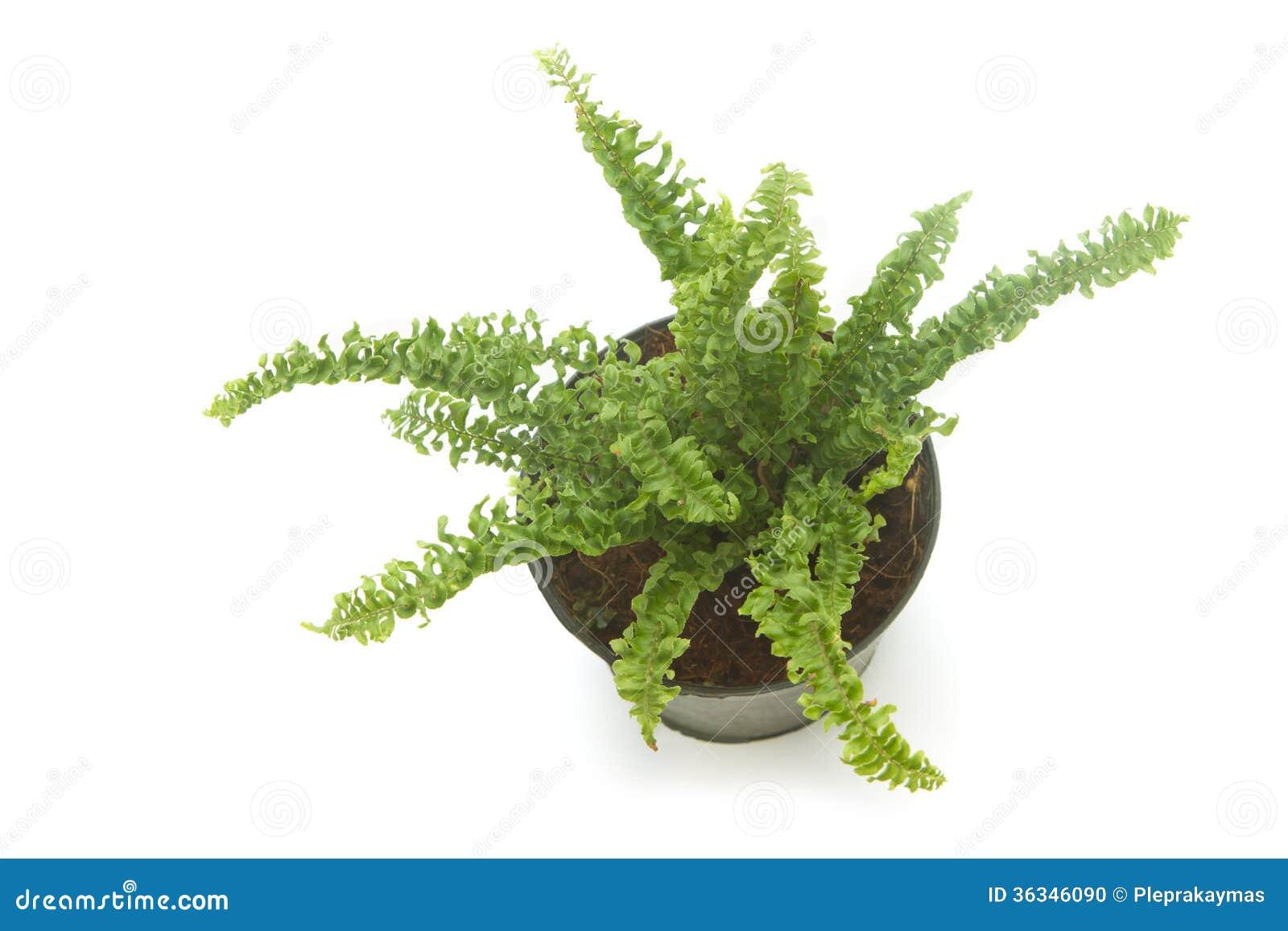 plante d 39 int rieur de foug re foug re dans le pot d 39 isolement photo stock image 36346090. Black Bedroom Furniture Sets. Home Design Ideas