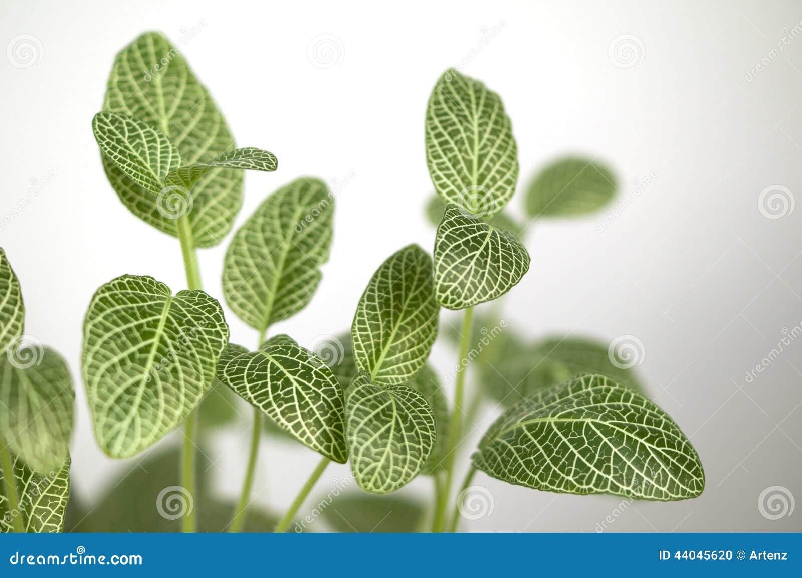 Plante d 39 int rieur verte et blanche de feuille photo stock for Plante 9 feuilles