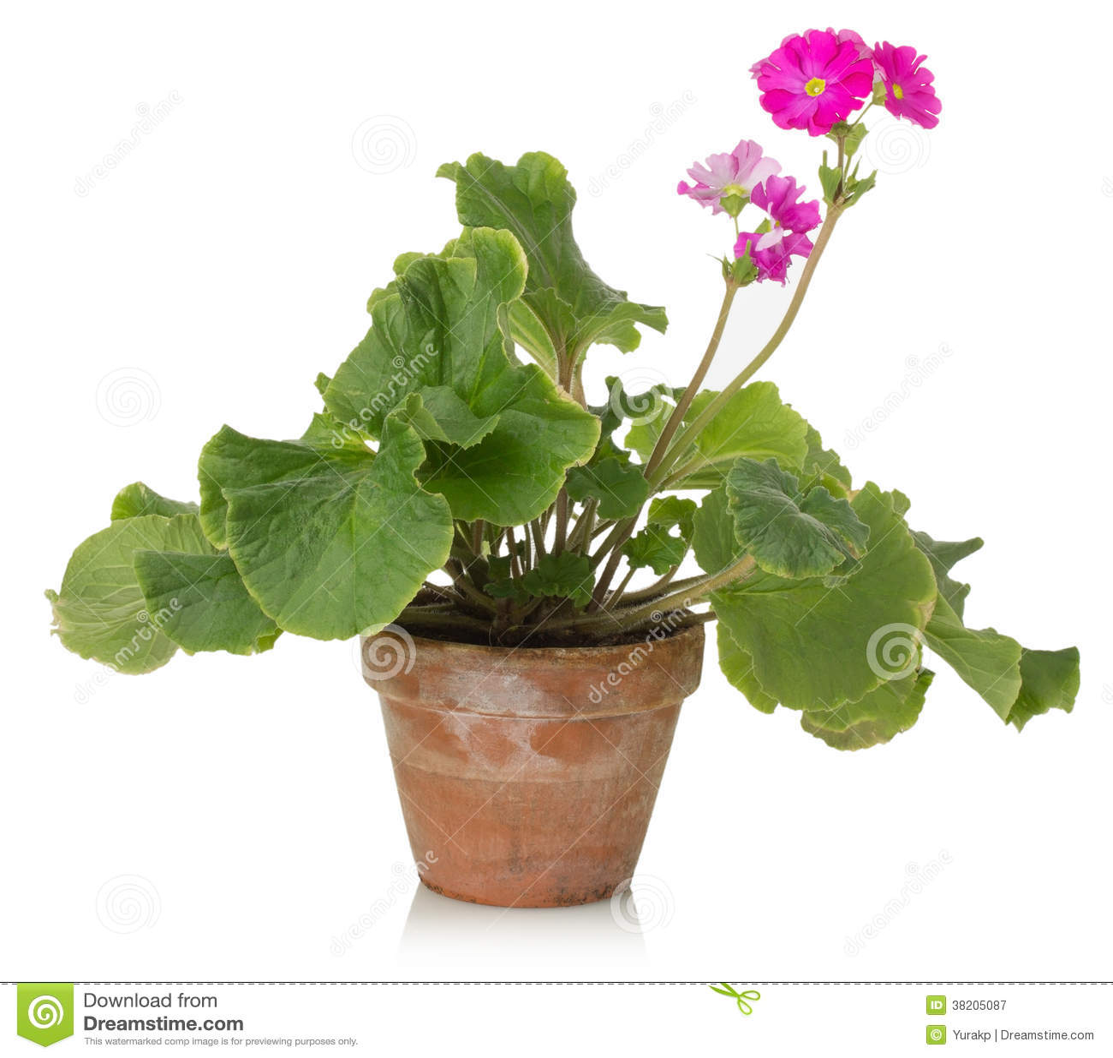 plante d 39 int rieur avec la fleur rose sur un fond blanc. Black Bedroom Furniture Sets. Home Design Ideas