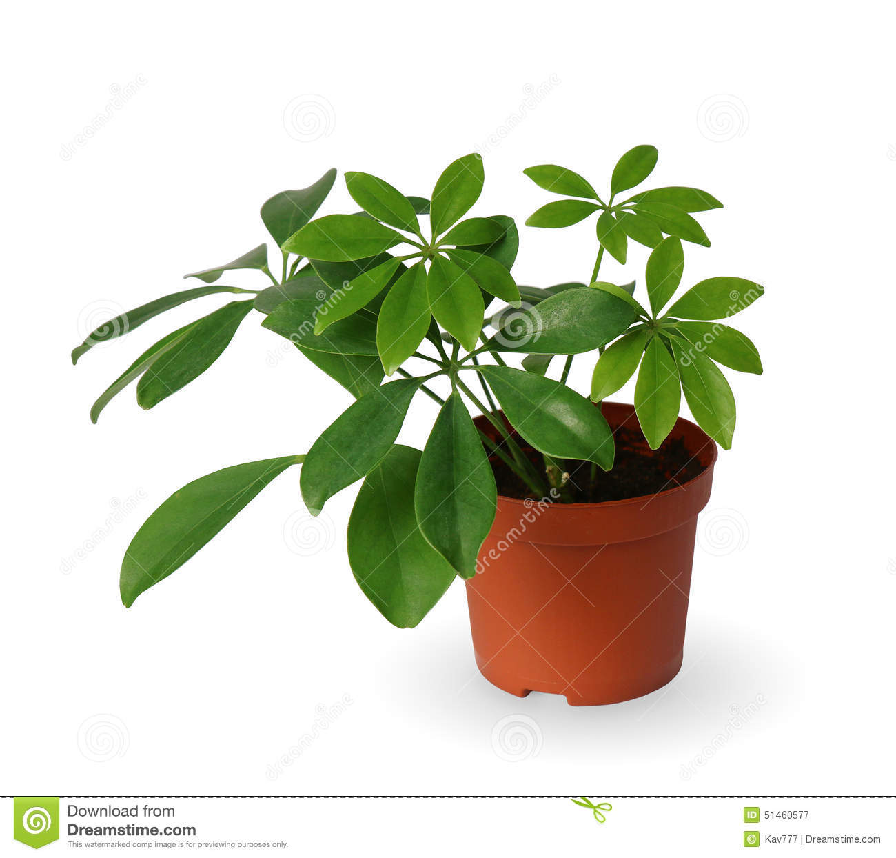 Plante d 39 int rieur jeune schefflera une usine mise en pot d 39 isolement au dessus du blanc photo for Pot de plante design