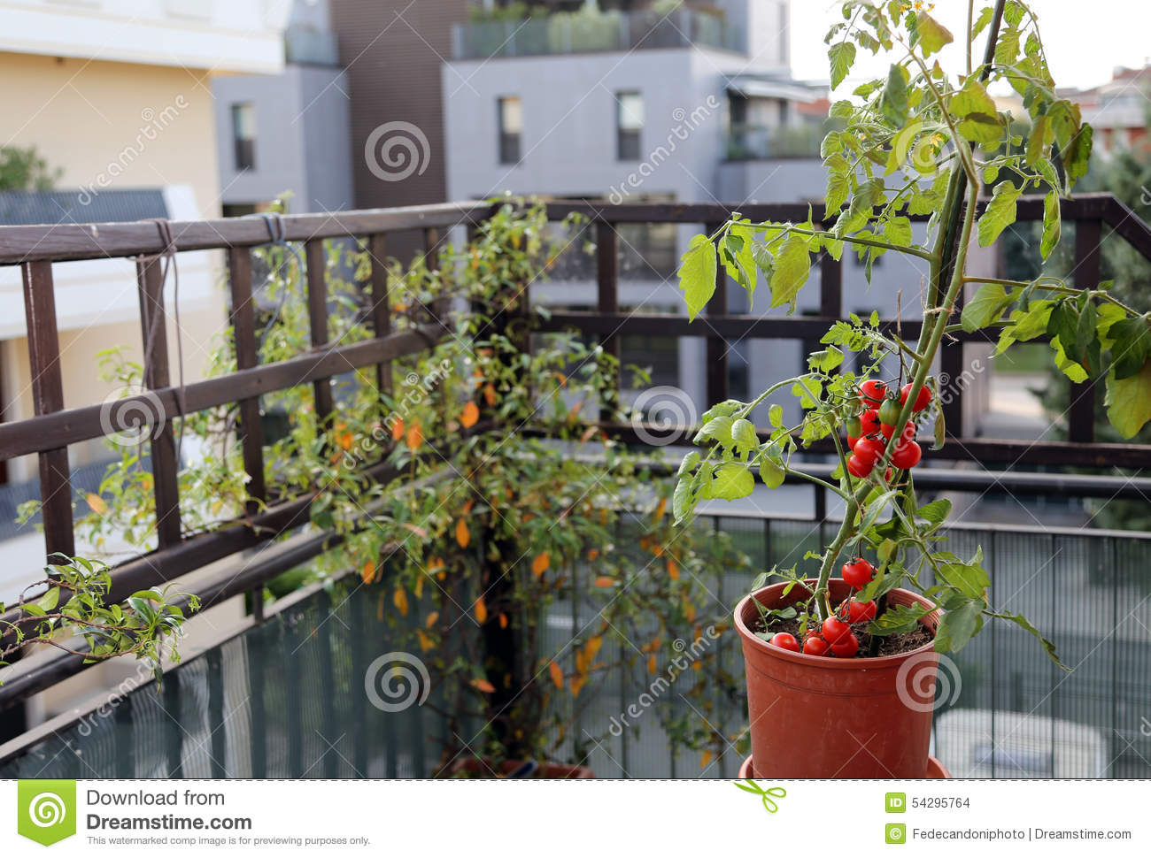 plante de tomate dans le pot sur la terrasse d 39 une maison photo stock image 54295764. Black Bedroom Furniture Sets. Home Design Ideas