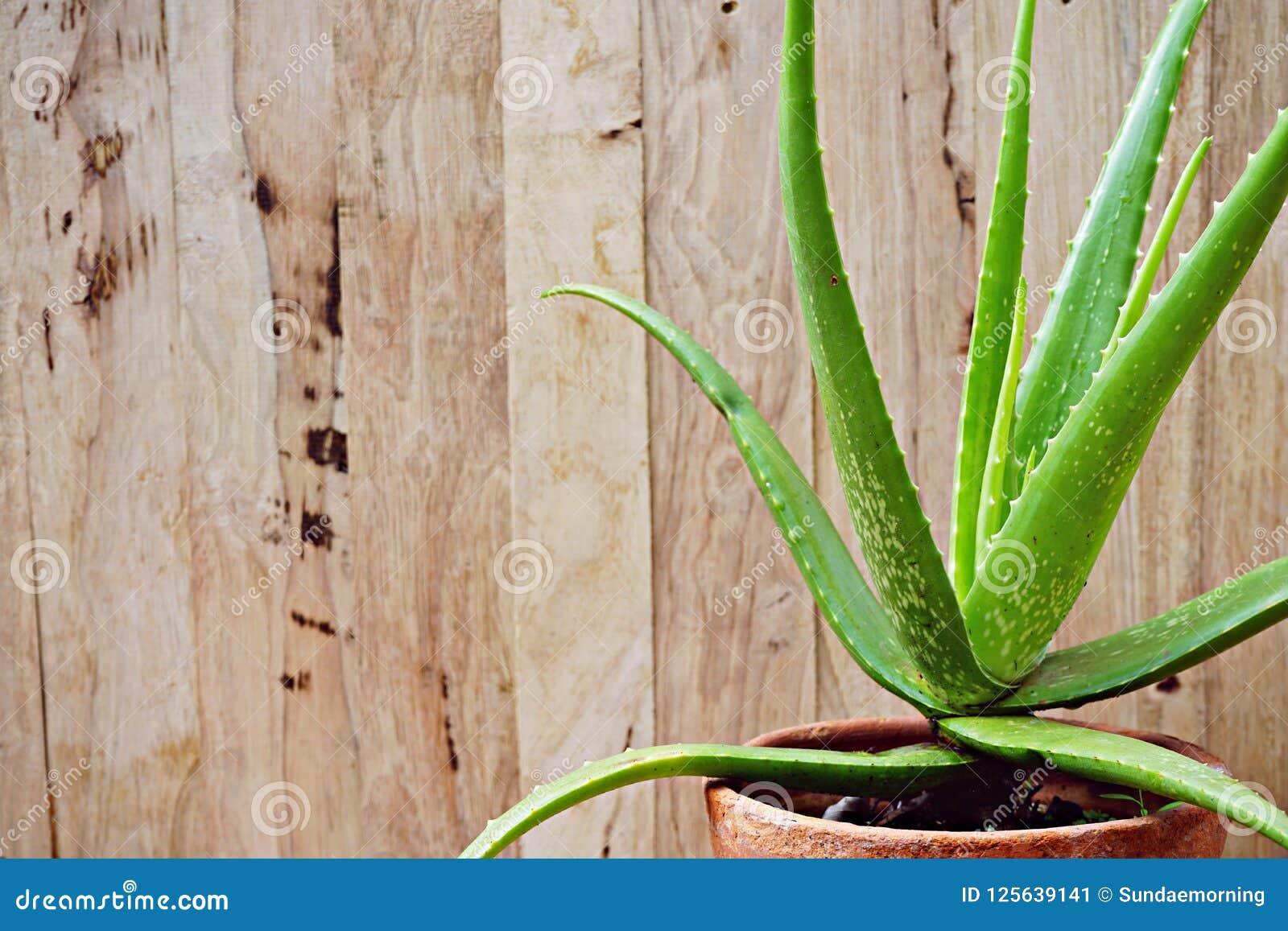 Pot Plante En Bois plante en pot de vera d'aloès sur le fond en bois de table