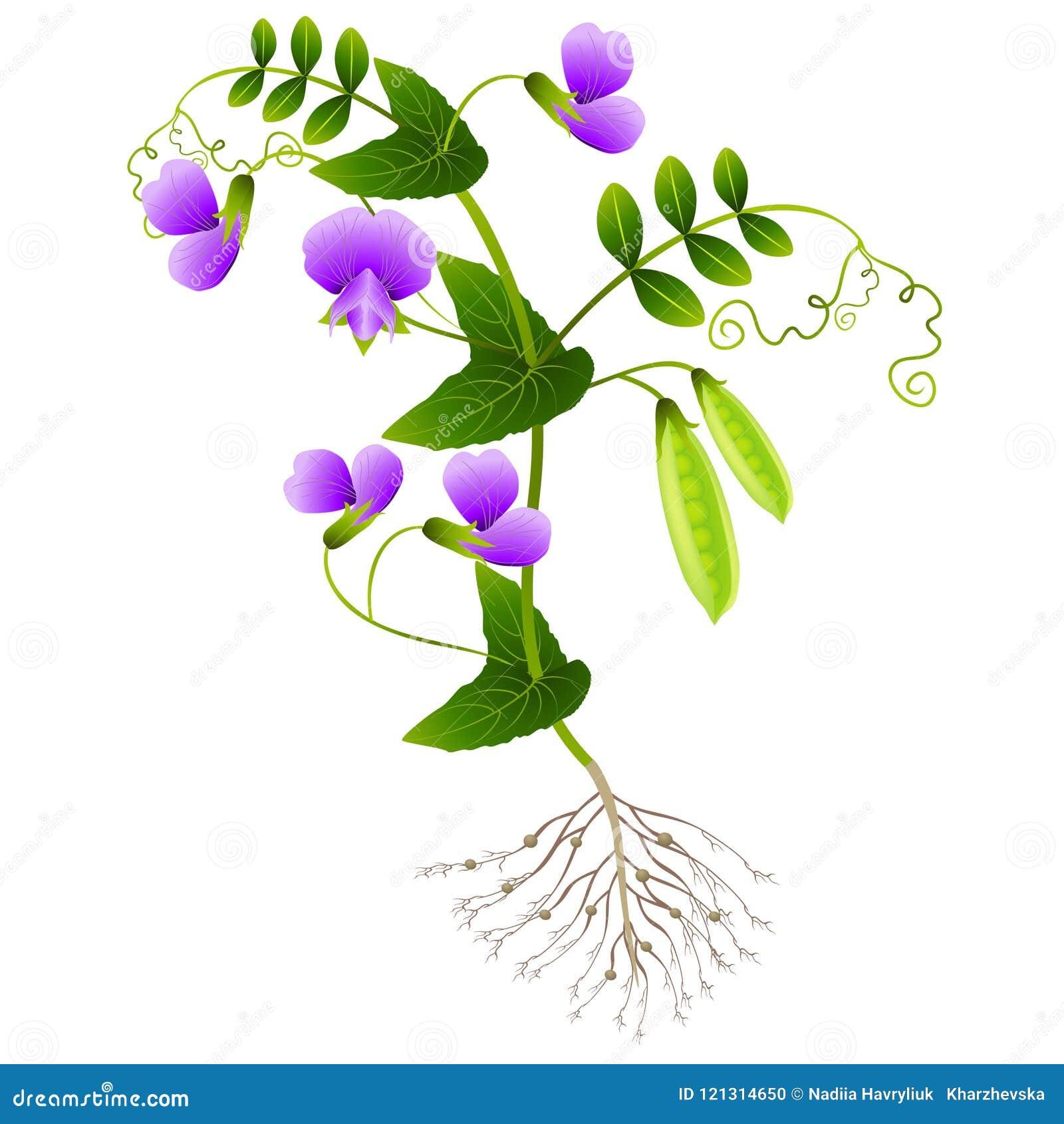 Plante ervilhas com raizes em um fundo branco