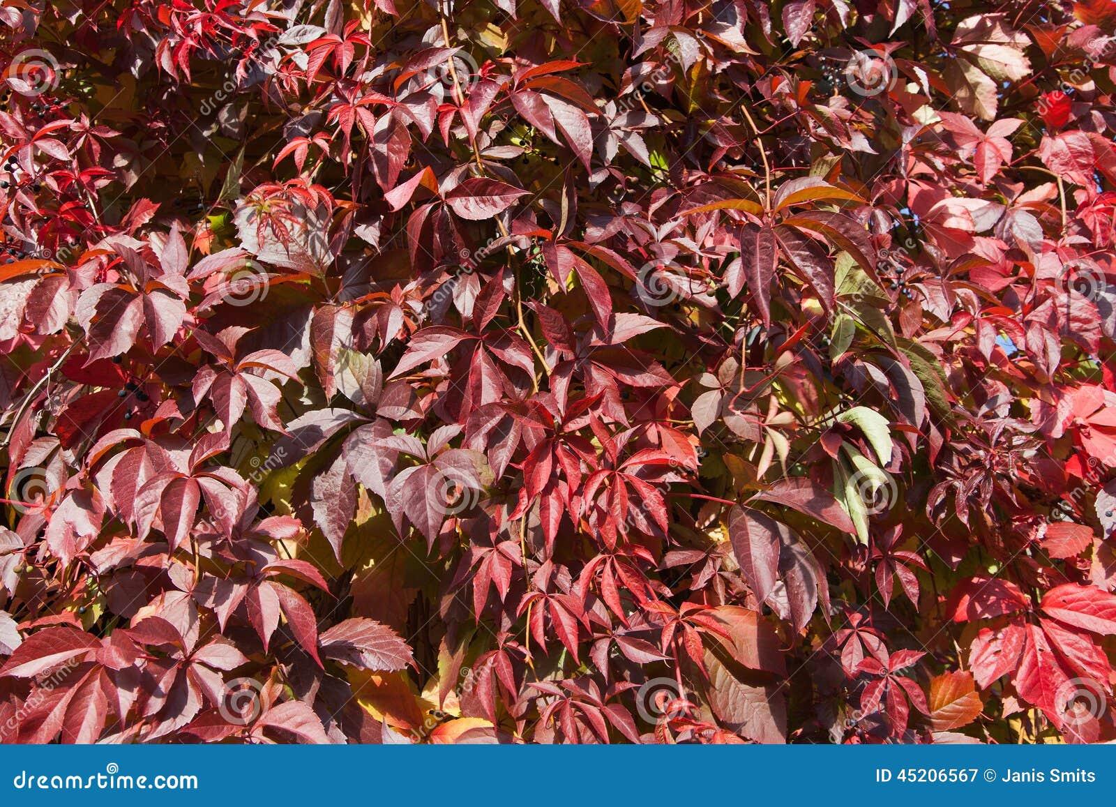 Plante grimpante de la virginie en automne photo stock for Plante feuille rouge