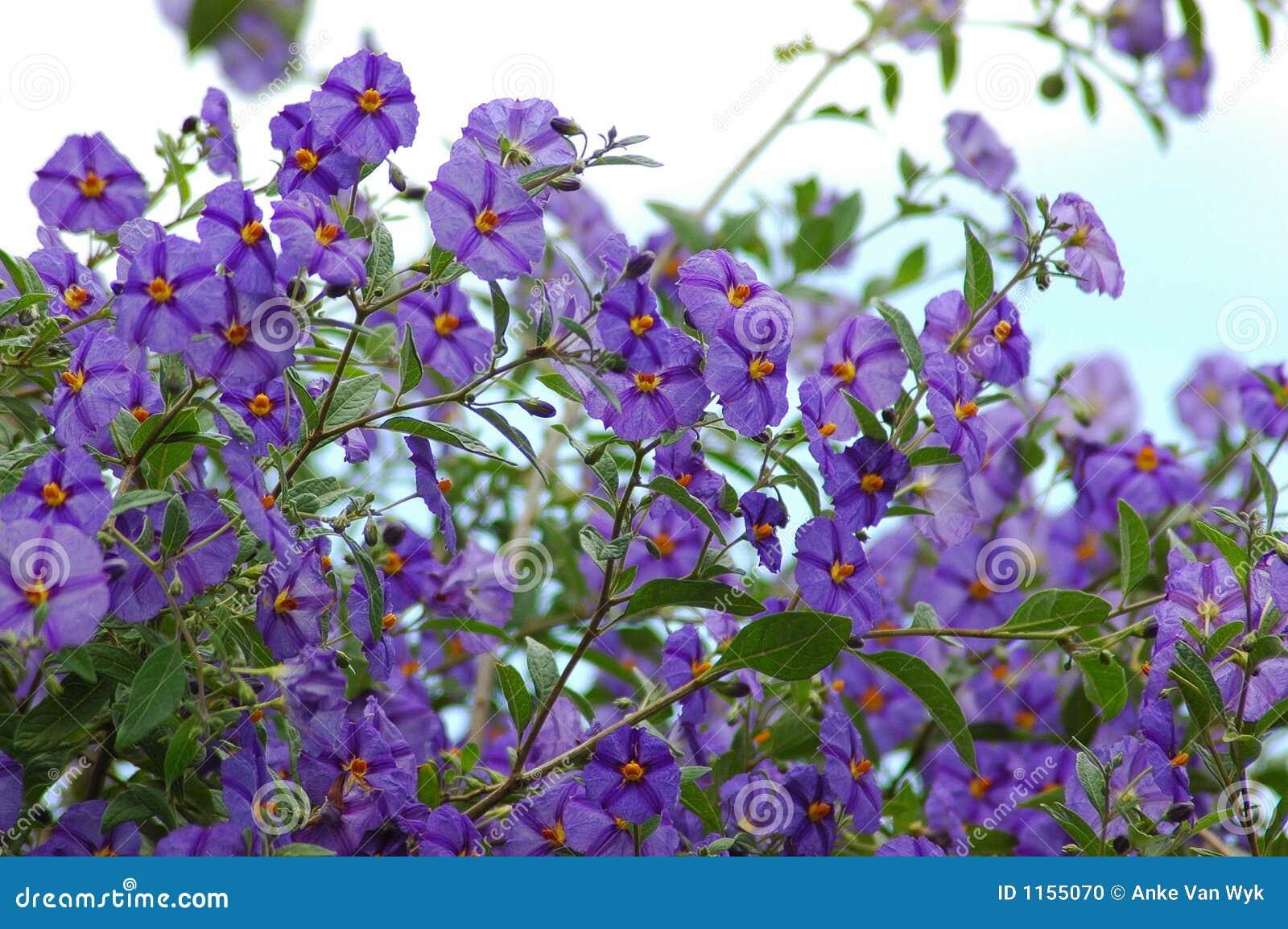 Plante grimpante de pomme de terre de fleurs photo stock for Plante exterieur grimpante