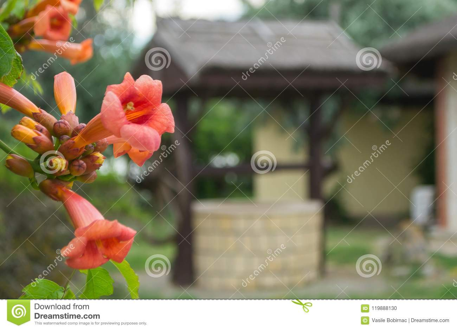 Plante grimpante de trompette