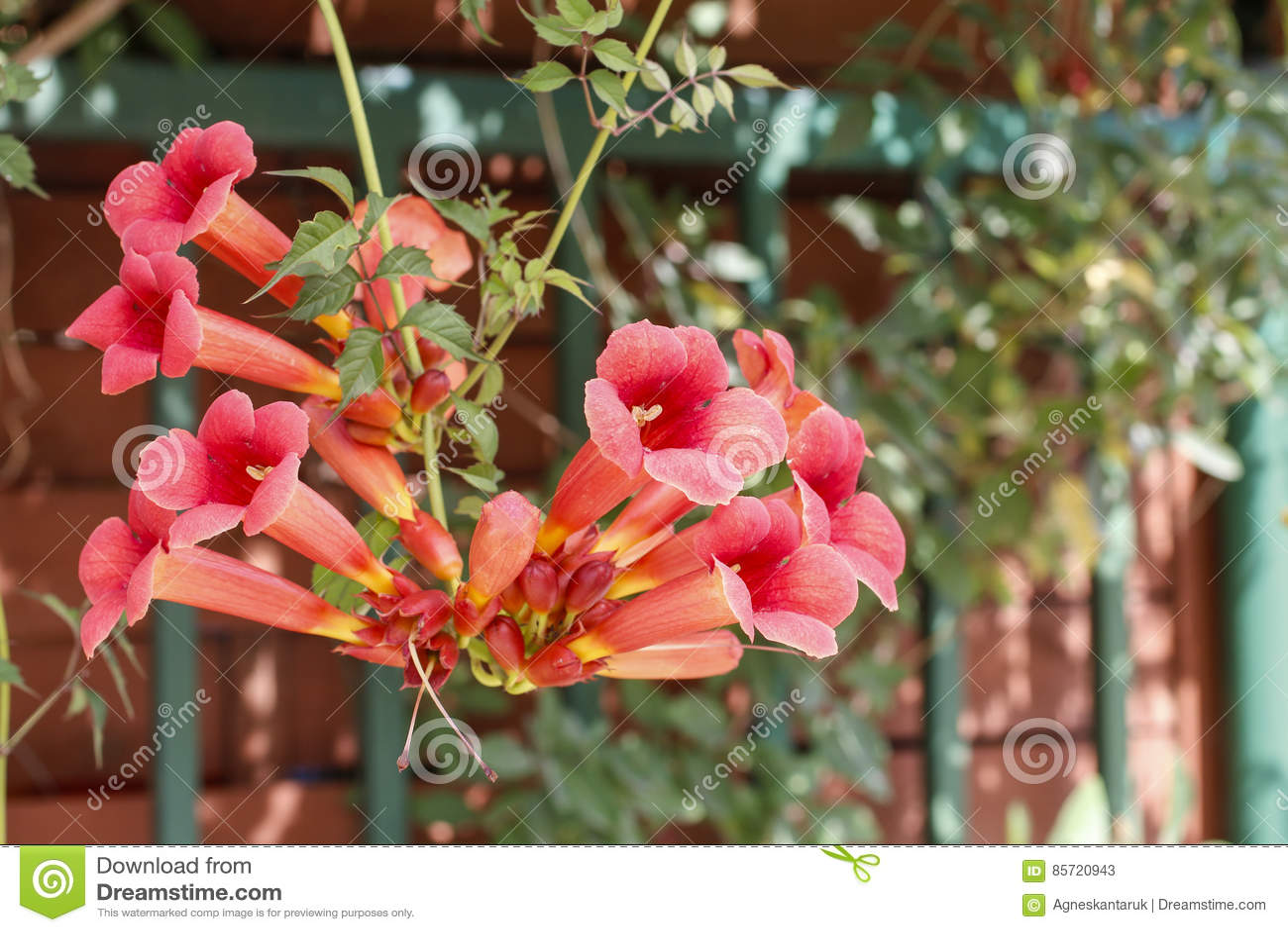 Plante Grimpante De Trompette De Campsis Fleur De Fleur De Vigne De