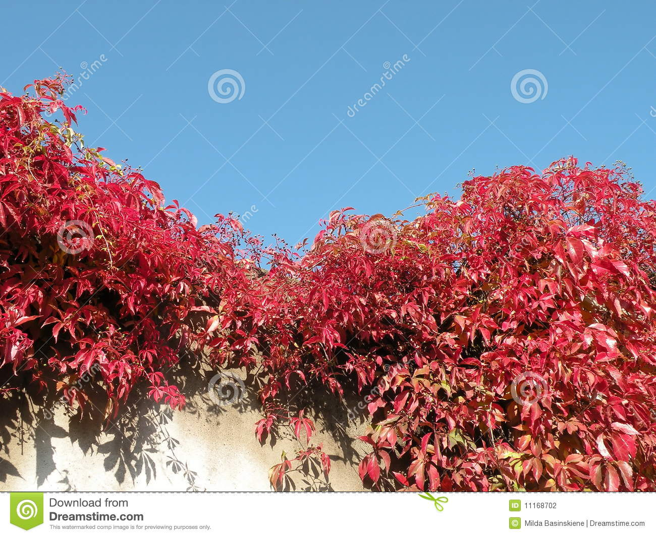 Plante grimpante rouge photographie stock image 11168702 for Plante rouge
