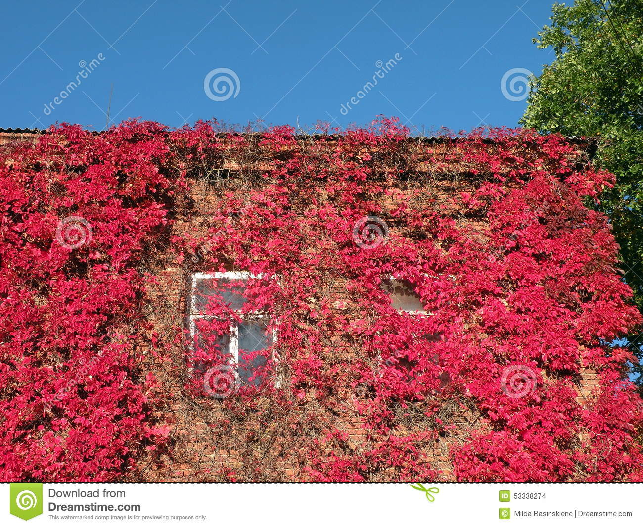 Plante grimpante rouge photo stock image 53338274 for Plante rouge