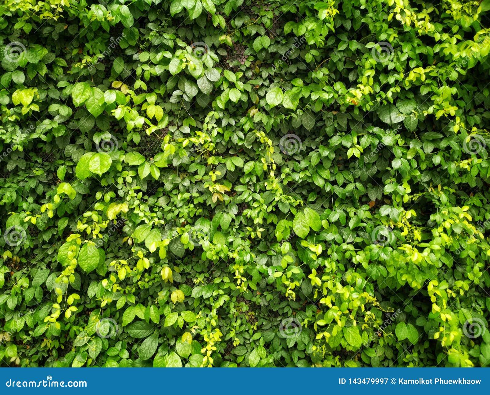Plante Sur Les Murs plante grimpante verte ou feuilles vertes sur le mur image