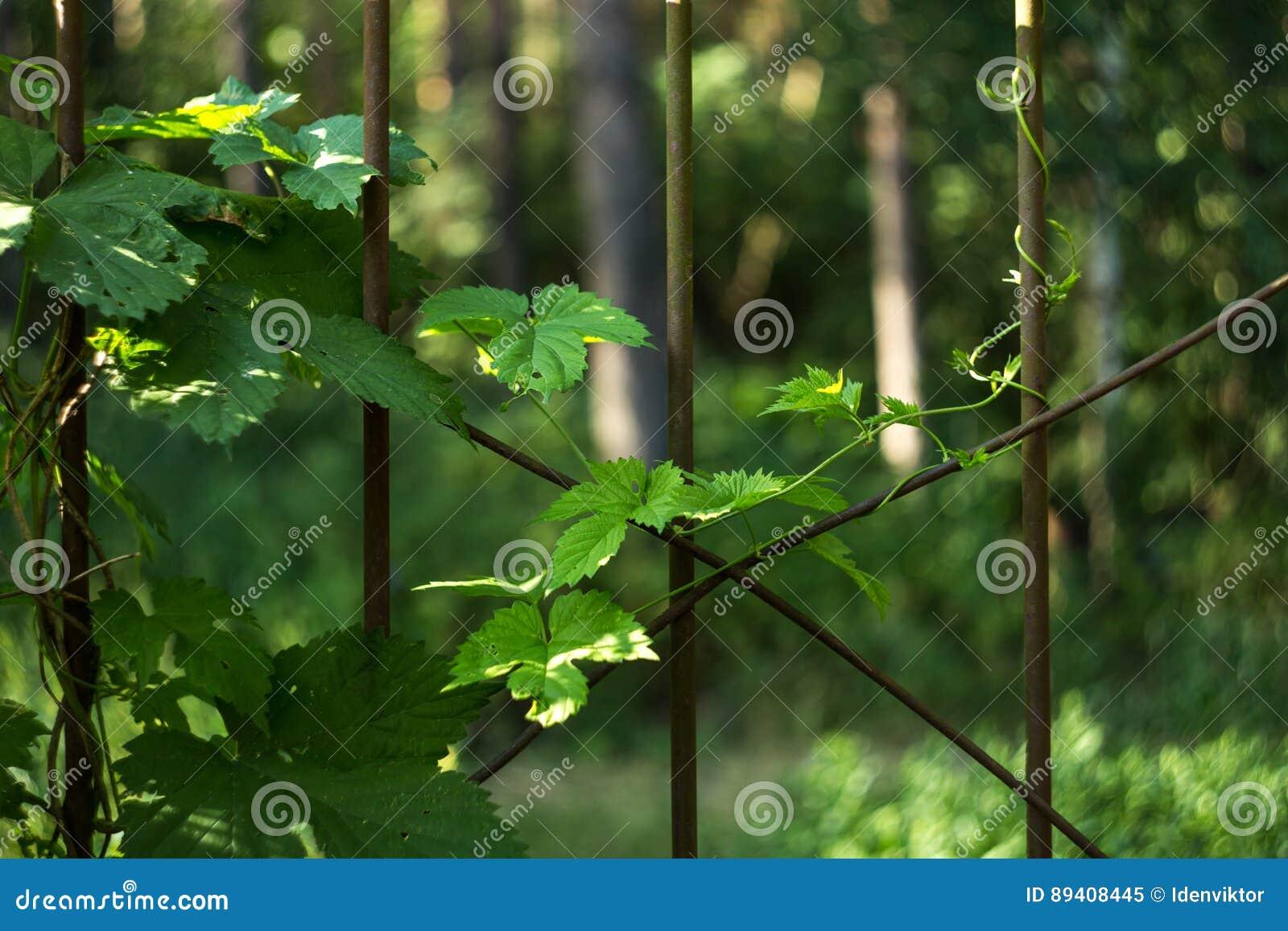 Plante a hera com um broto fresco dos jovens na cerca do ferro