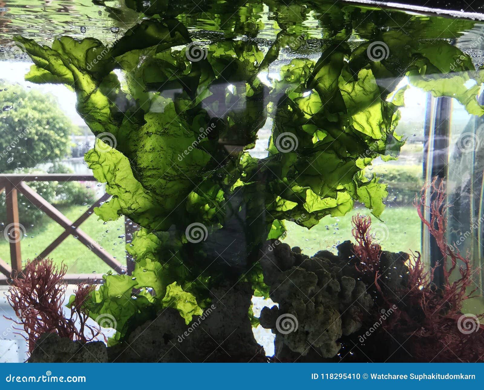 Plante la lechuga de mar o el nori verde