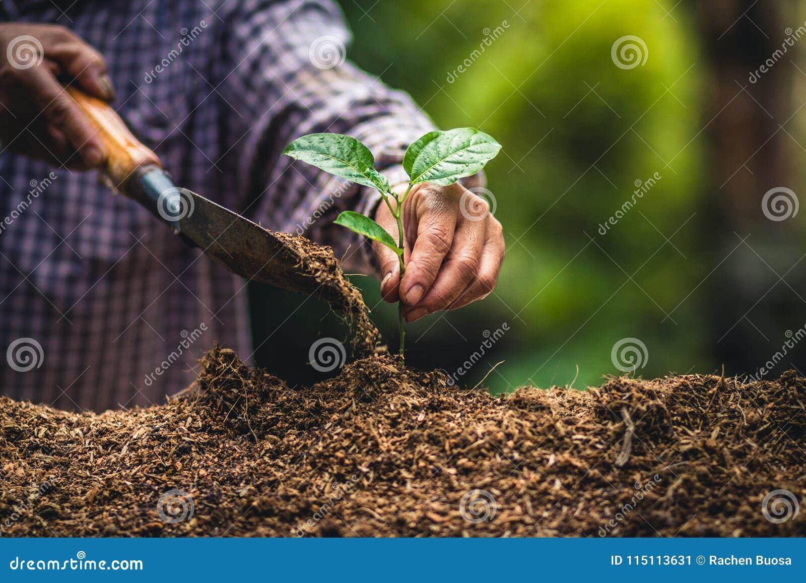 Plante los almácigos fuertes de una fruta de la pasión del árbol, plantando el árbol joven por el gato viejo en suelo como concep