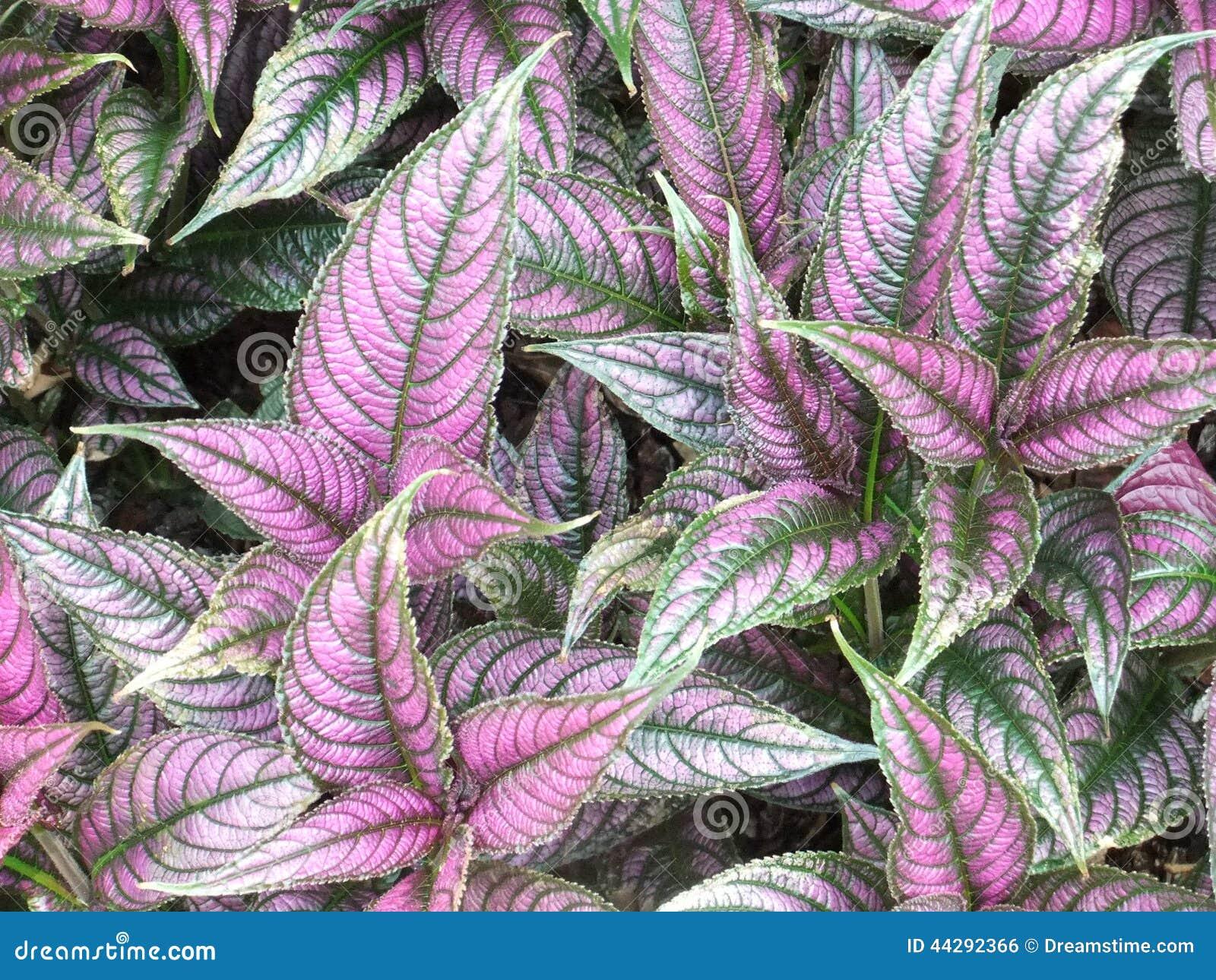Plante pourpre et verte de jardin botanique photo stock for Plante verte de jardin