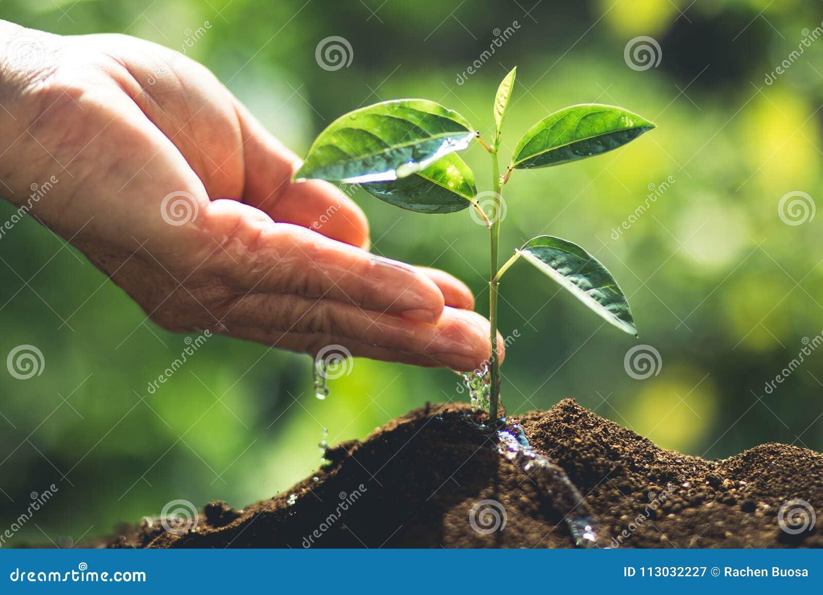 Plante un árbol joven de la fruta de la pasión del árbol en luz y blackground de la naturaleza