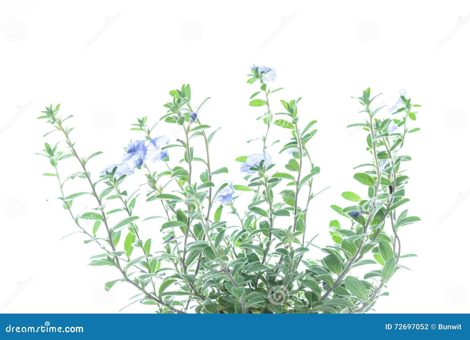 Plante Verte Avec La Fleur Violette Sur Le Fond Blanc Photo Stock