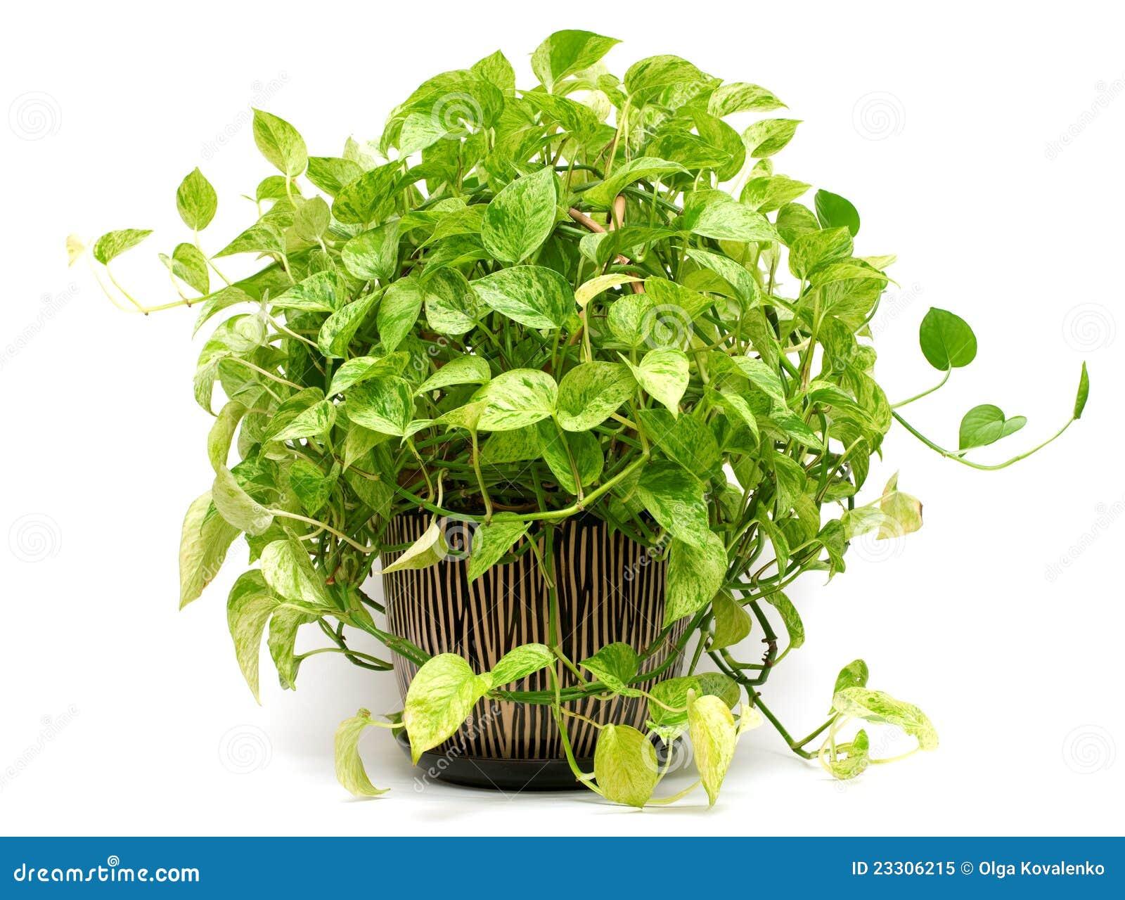 plante verte dans le vase poterie photo libre de droits. Black Bedroom Furniture Sets. Home Design Ideas