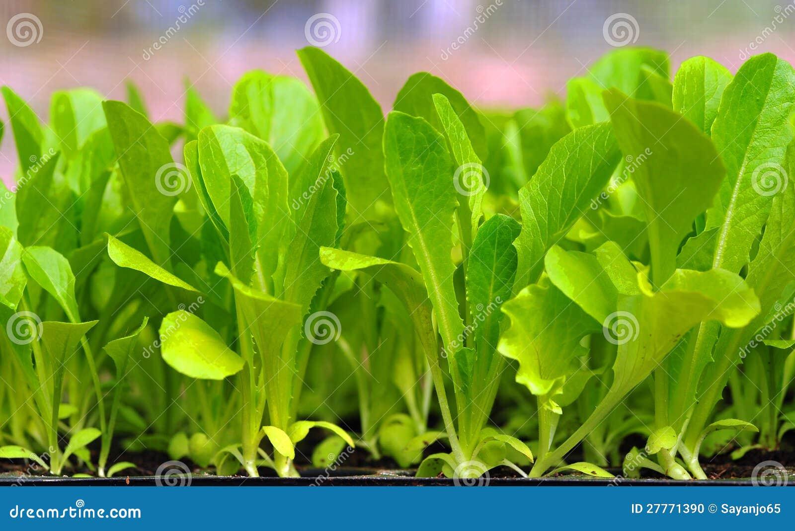 Plante verte de laitue. nourriture et légume