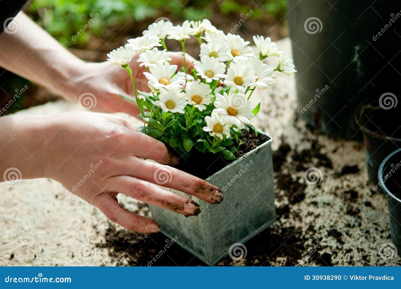 Plantera blomman