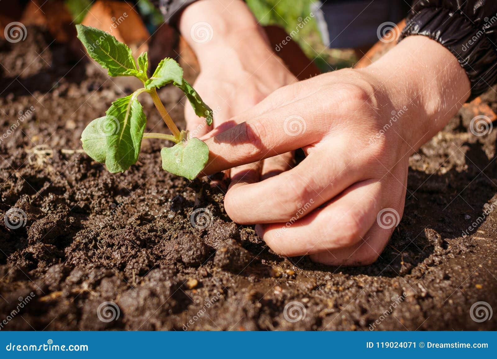 Plantera en ung växt