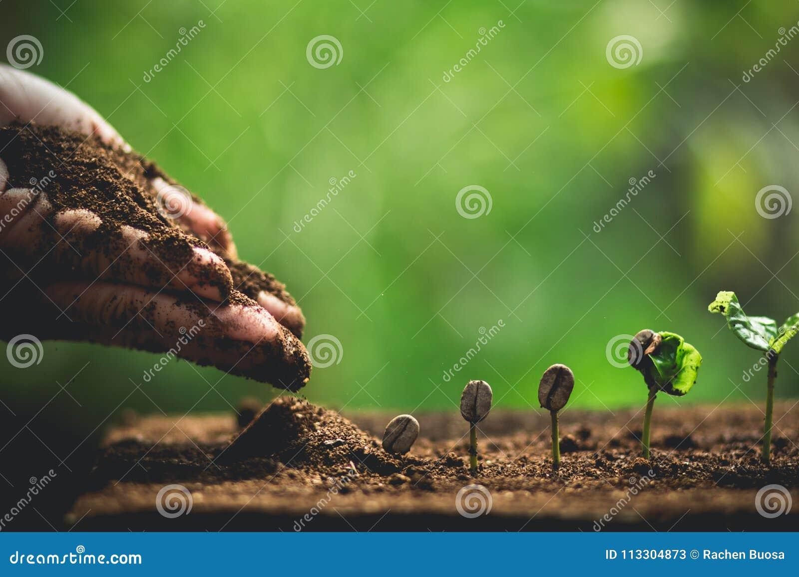 Plantera kaffeplantor i naturnärbild av den nya gröna växten