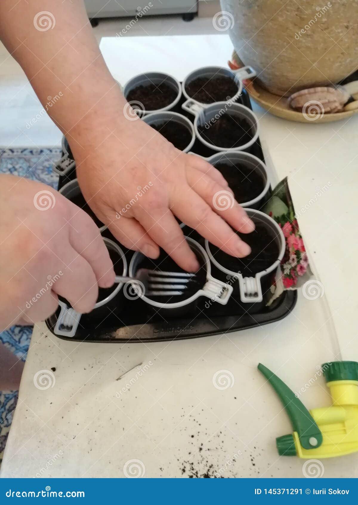 Plantera petuniafrö i krukor