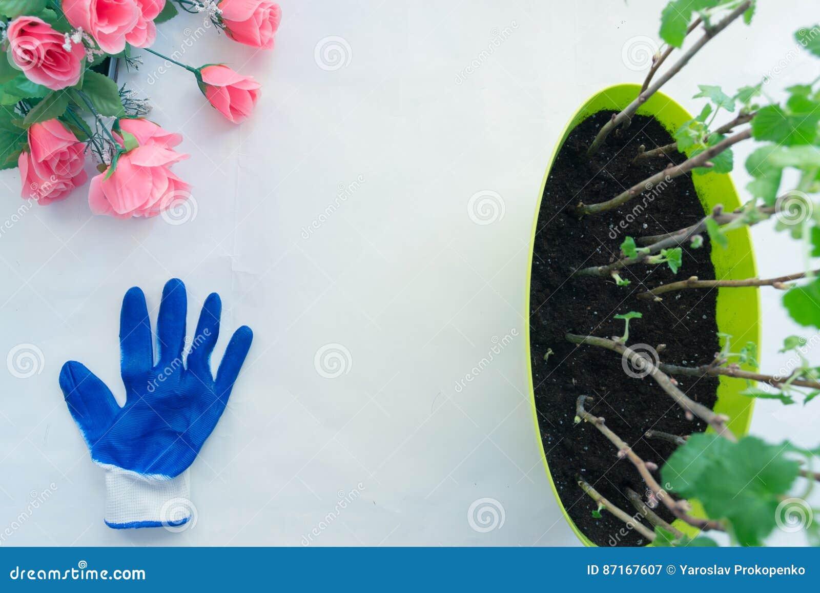 Plantera plantavinbäret i krukor, trädgårds- hjälpmedel