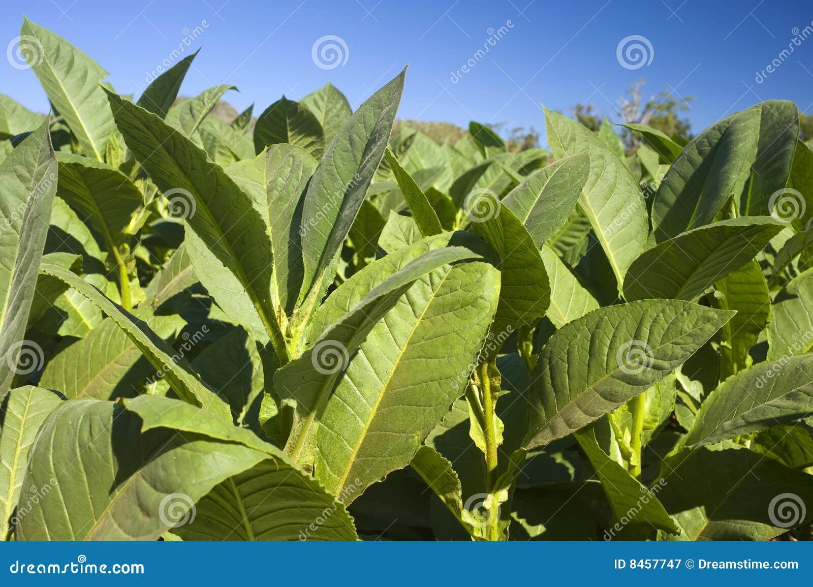 Planterar tobak