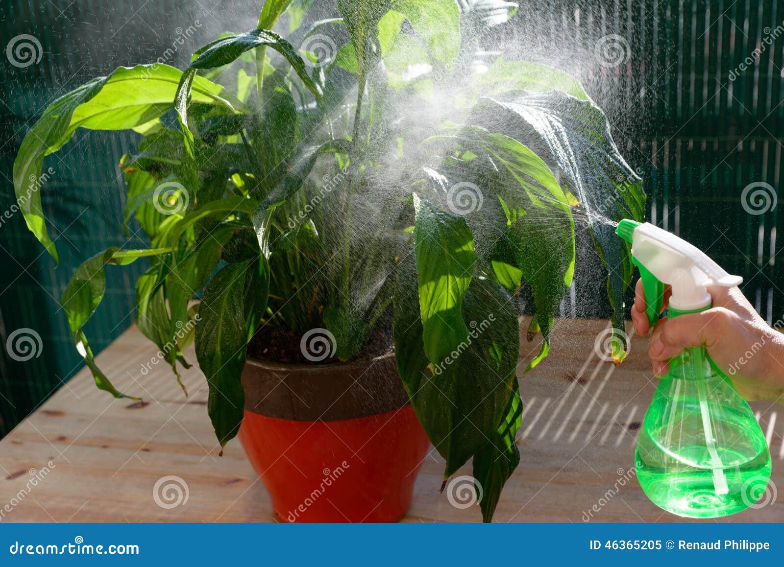 plantes d'intérieur de arrosage de femme avec un pulvérisateur image