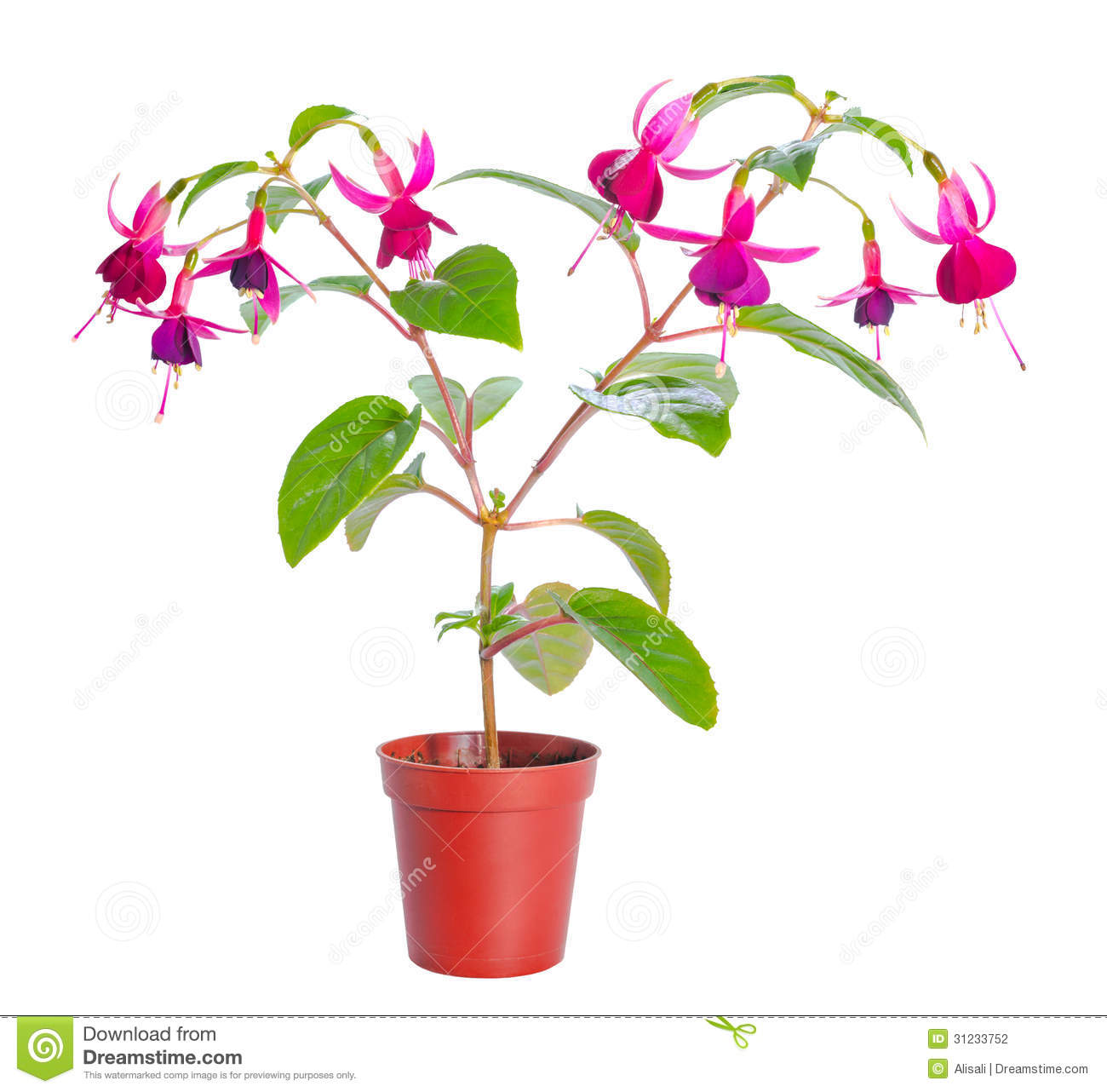 plantes d int rieur fuchsia de fleur dans le pot de fleur. Black Bedroom Furniture Sets. Home Design Ideas