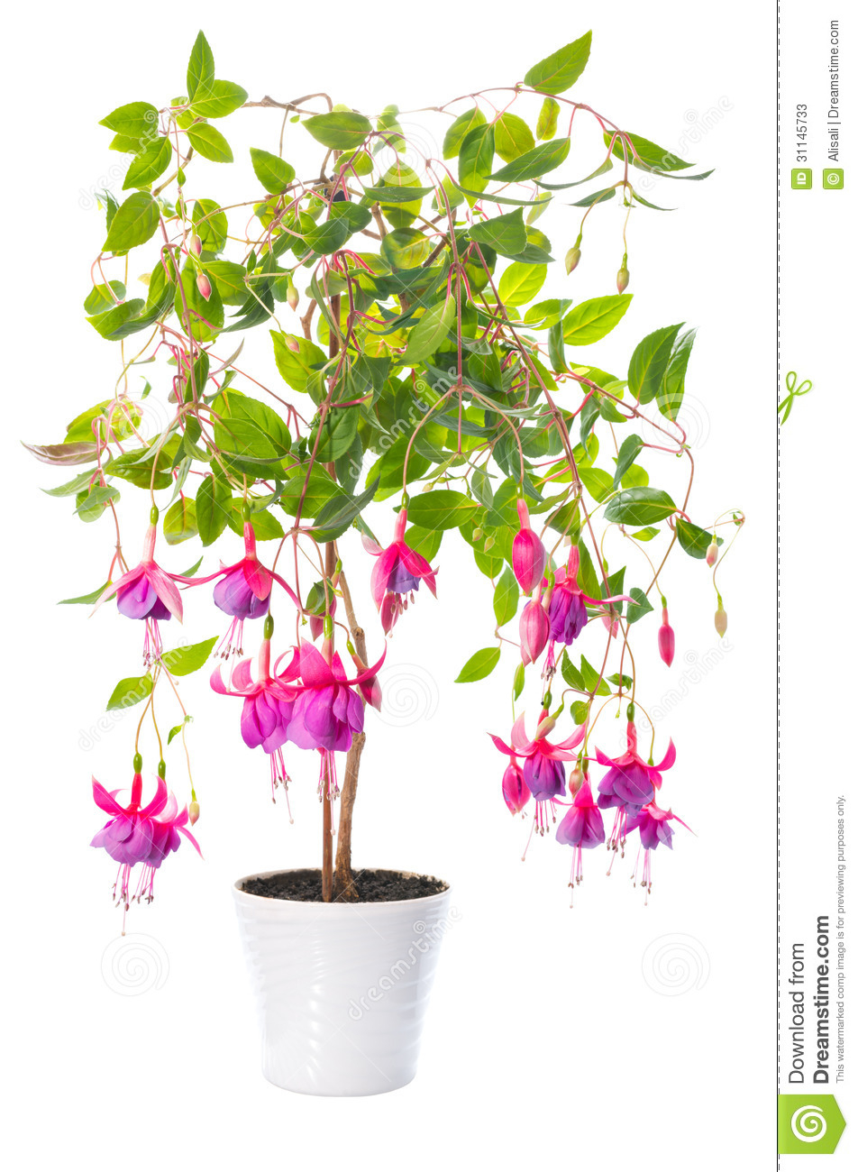 plantes d 39 int rieur fuchsia de fleur dans le pot de fleur. Black Bedroom Furniture Sets. Home Design Ideas