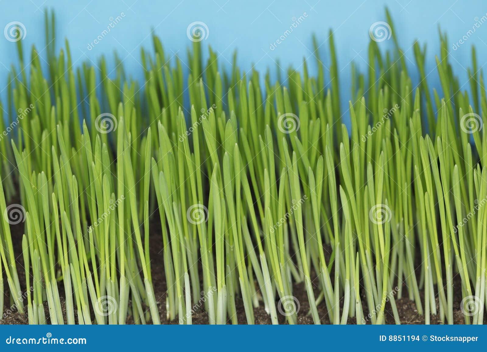 Plantes d orge