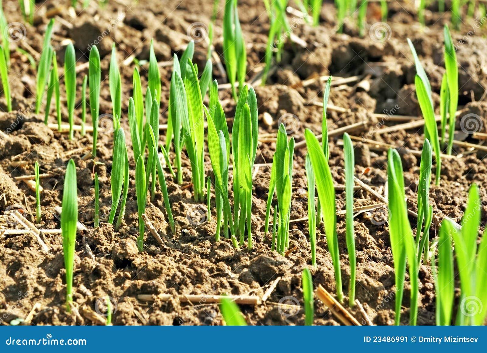 Plantes de blé