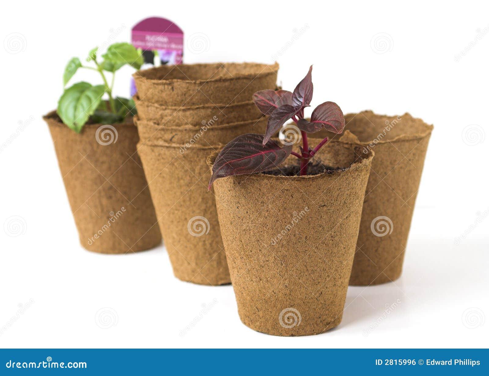 Plantes de centrale dans des bacs de tourbe